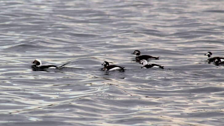 """Maritime Aquarium's new """"Winter Birding Cruises"""" give birders on-the-water access to migratory waterfowl on Long Island Sound"""